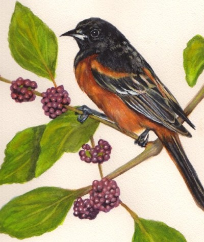 Orchard Oriole Wells